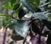 100% Pure Natural Amyris Essential Oil(Amyris Balsamifera)