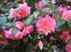 Camellia Oil (Camellia sinesis)