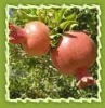 Essential oil pomegranate seed