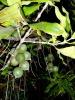 Exporter of Natural Sweet MACADAMIA OIL