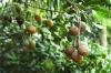 Natural Macadamia