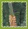 Natural pine oil