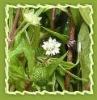 Psoralea corylifolia essential oil