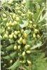 Pure Neem Leaf Oil