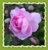 Pure rose essential oil