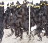 QUALITY cheap velvet remi hair