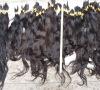 QUALITY virgin burmese hair