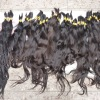 QUALITY virgin indian temple hair