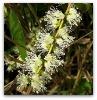 Tee Tree oil Aromatherap Oil