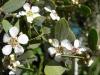 Tee Tree oil basic oil (bulk)